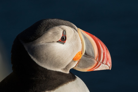 puffin: Puffin portrait in Latrabjarg Cliffs, Iceland Stock Photo