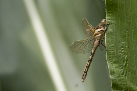 Dragonfly on a green leaf, Italy