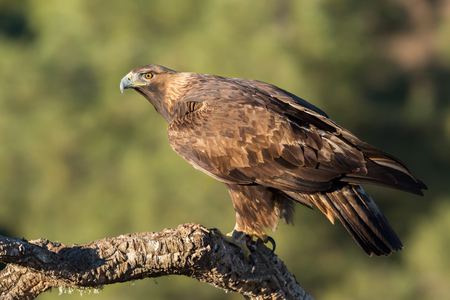 Golden eagle (Aquila chrysaetos), Andalusia, Spain Foto de archivo