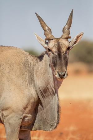 Common eland portrait (Taurotragus oryx), Etosha National Park, Namibia Stock Photo