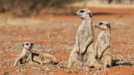 Familia suricata sobre arena roja (Suricata suricatta), el desierto de Kalahari, Namibia