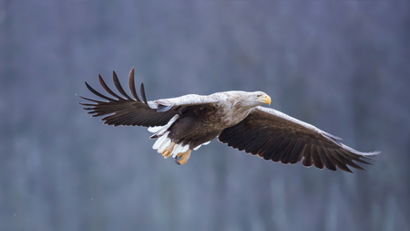 Flying White-tailed eagle (Haliaeetus albicilla), Poland Imagens