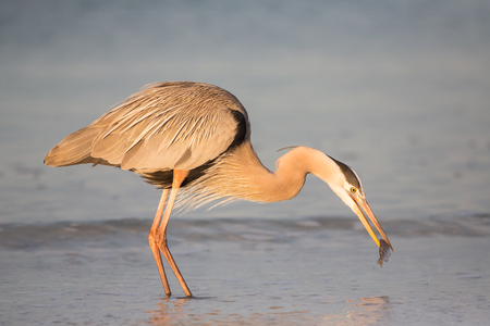 Great blue heron catching a fish (Ardea herodias),  United States