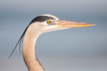 Great blue heron portrait (Ardea herodias),  United States