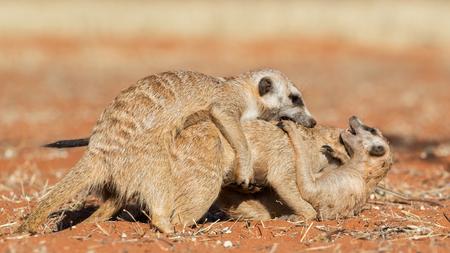 Meerkats jugando en la arena (Suricata suricatta), el desierto de Kalahari, Namibia Foto de archivo