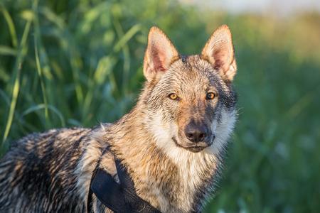 Czechoslovakian Wolfdog Portrait, Italy 版權商用圖片