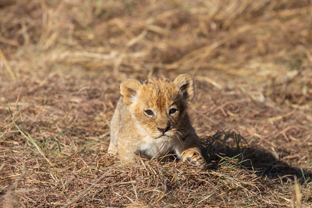 Lion cubs playing together, Masai Mara Reserve, Kenya