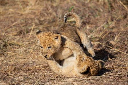 Lion cubs playing together, Masai Mara Reserve, Kenya