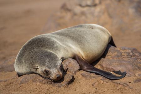 Lazy brown fur seal (Arctocephalus pusillus), Cape Cross, Namibia Imagens