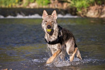Czechoslovakian Wolfdog retrieving a ball from water, Italy