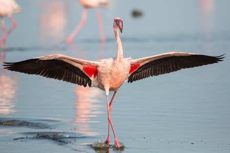 Lesser flamingo with open wings (Phoeniconaias minor), Walvis bay, Namibia