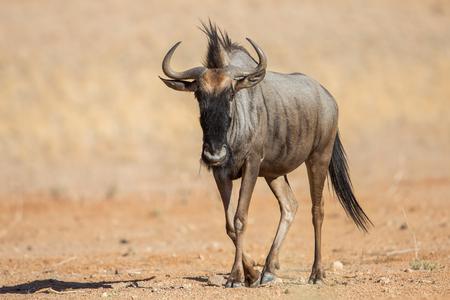 Blue wildebeest close up (Connochaetes taurinus), Etosha National Park, Namibia