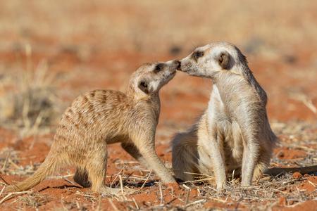Pareja de suricatas jugando en la arena (Suricata suricatta), el desierto de Kalahari, Namibia Foto de archivo