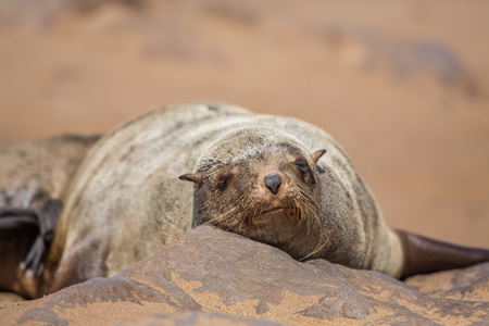 Lazy brown fur seal (Arctocephalus pusillus), Cape Cross, Namibia 免版税图像