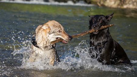 Deux chiens dans l'eau se battant pour une branche, Italie
