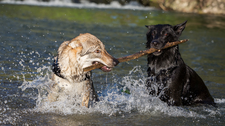Two dogs in the water fighting for a branch, Italy