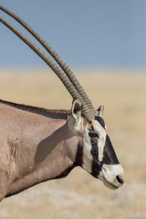 Gemsbok (Oryx gazella) , Etosha National Park, Namibia