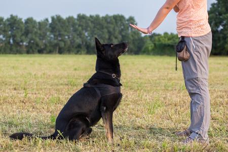 Black German Shepherd training (Sit command) Foto de archivo