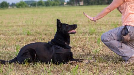 Black German Shepherd training (Sit command) Banco de Imagens