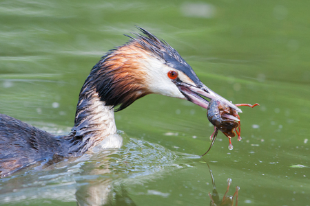 Great crested grebe with prey (Podiceps cristatus), Italy
