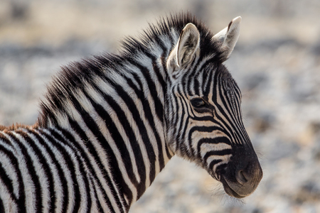 Plains zebra portrait (Equus quagga), Etosha National Park, Namibia