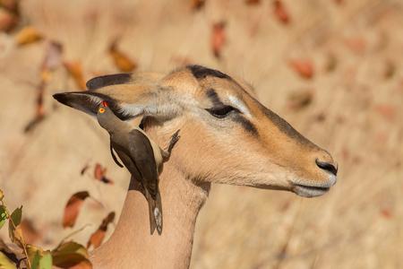 Simbiosis, Impala con picabueyes, Kruger Park, Sudáfrica