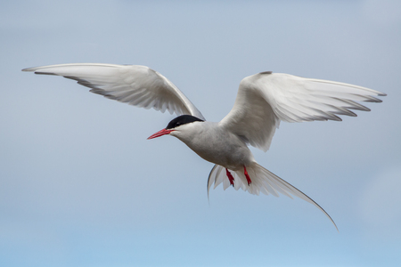Flying arctic tern (Sterna paradisae), Iceland