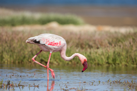 Lesser flamingo (Phoeniconaias minor), Walvis bay, Namibia