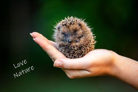 A woman hand holding a little hedgehog