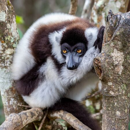 Black-and-white ruffed lemur (Varecia variegata), Andasibe Reserve, Madagascar
