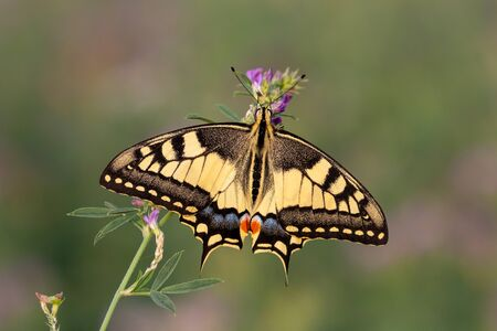 Papilio machaon, la coda forcuta del Vecchio Mondo, Pianura Padana, Italia