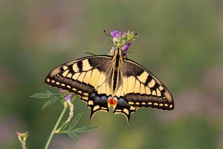 Papilio machaon, la especie del Viejo Mundo, Valle del Po, Italia