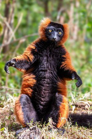 Red ruffed lemur (Varecia rubra), Andasibe reserve, Madagascar