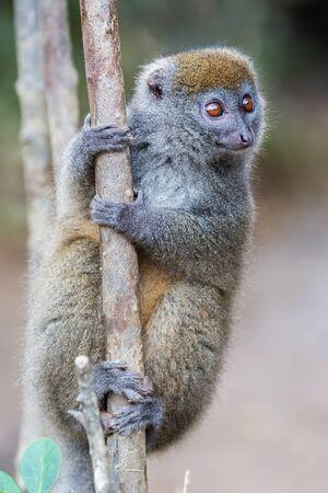 Golden bamboo lemur close up, Hapalemur aureus, Ranomafana national park, Madagascar
