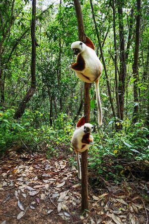 Verreaux's sifaka perched on a tree, Propithecus verreauxi, Andasibe National Park, Madagascar Imagens