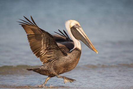Brown pelican (Pelecanus occidentalis), Sanibel Island, Florida
