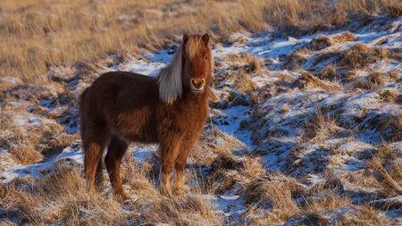 Icelandic horse portrait in snowy landscape, Iceland