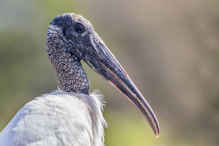 Wood stork portrait (Mycteria americana), Florida, United states of america