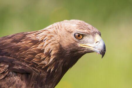 Golden Eagle close up, Aquila chrysaetos, Andalusia, Spain Imagens