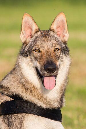 Czechoslovakian Wolfdog Portrait, Italy Imagens
