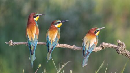 Three European bee-eaters in a row (Merops apiaster), Italy