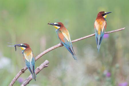 Three European bee-eaters on a row (Merops apiaster), Po Valley, Italy Imagens