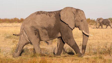 African elephant closeup (Loxodonta africana), Kruger Park, South Africa