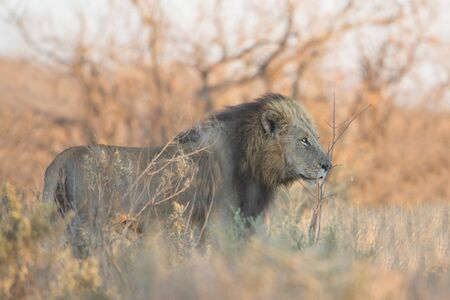 Male Lion patrolling its territory (Panthera leo), Kruger Park, South Africa