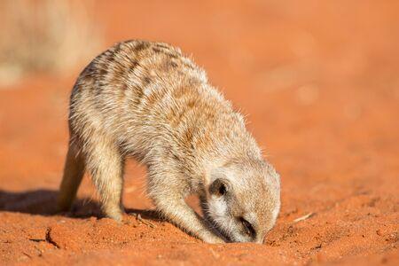 Meerkat searching for food (Suricata suricatta), Kalahari desert, Namibia