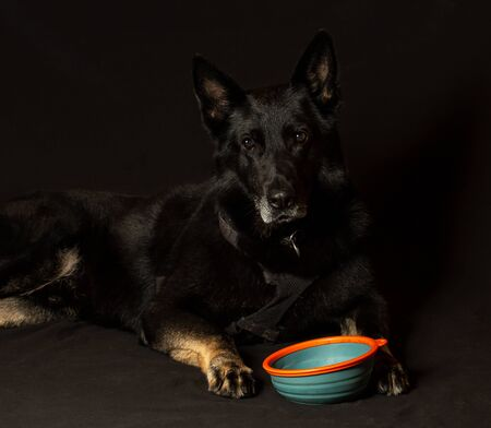 Old german shepherd dog waiting to eat from his bowl Imagens