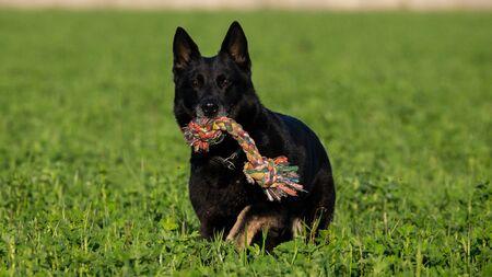 Trained black german shepherd retrieving object in a green field, Italy