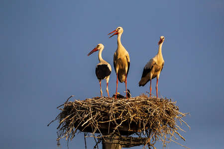 Thrre storks on a row in their nest, Po valley, Italy Imagens