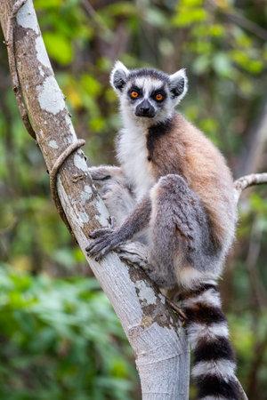 Ring tailed lemur looking at camera. Isalo National Park. Madagascar Imagens