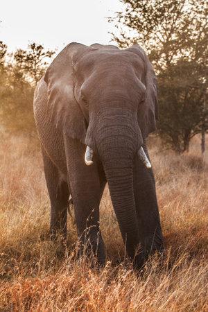 Elephant close up, Loxodonta africana, Kruger national park